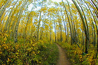 Photo of aspens in the fall on the Colorado trail.